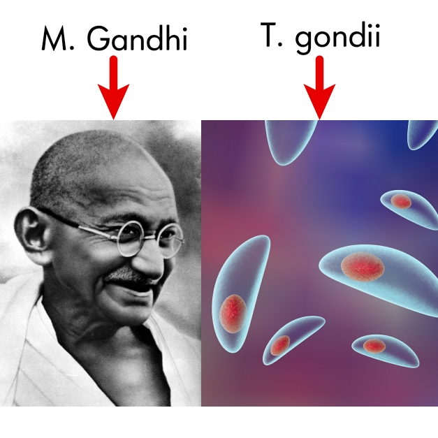 M. Gandhi the pacifist vs T. gondii the parasite